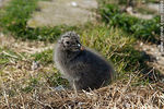 Photo #38699 - Isla de Flores.  Seagull chick.