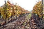 Foto #43090 - Vineyard in autumn