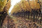 Foto #43082 - Vineyard in autumn