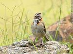 Foto #43783 - Rufous-collared Sparrow