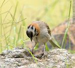 Foto #43782 - Rufous-collared Sparrow