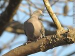 Photo #43362 - Spot - winged pigeon