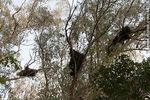 Photo #44355 - Parrot nests on eucalypt trees
