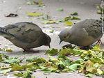 Photo #47229 - Eared doves