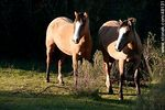 Photo #48131 - Criollo horses