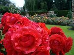 Foto #48676 - Roses in the Botanical Garden of Dublin