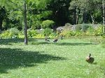 Foto #48672 - Ducks in the Botanical Garden of Dublin