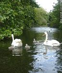 Foto #48592 - Swans on the lake in Saint Stephen's Green Park
