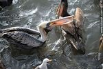 Photo #49737 - Marine wolves and pelicans fighting over food