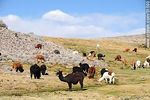 Photo #51590 - Llamas grazing on the outskirts of the village Parinacota