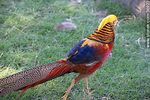 Foto #56923 - Golden Pheasant at the Zoo Rodolfo Tálice
