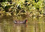 Photo #57945 - Common Gallinule in Parque Rivera