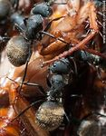 Foto #59444 - Black ants eating a cockroach