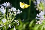 Foto #59853 - Agapanthus with yellow butterfly