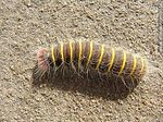 Photo #60342 - Hairy caterpillar, brown with fine yellow rings. Macrothylacia