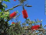 Photo #60424 - Callistemon