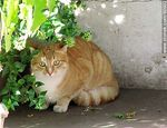 Foto #60602 - Ginger cat in shades of beige