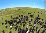 Photo #61575 - Aerial photo of dairy cattle grazing in the Floridian field