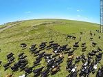 Photo #61561 - Aerial photo of dairy cattle grazing in the Floridian field
