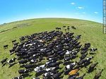 Photo #61558 - Aerial photo of dairy cattle grazing in the Floridian field
