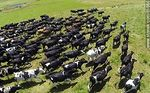 Photo #61560 - Aerial photo of dairy cattle grazing in the Floridian field