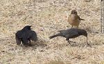 Photo #62174 - Cowbird chicks begging food for his surrogate father, in this case, a Rufous Hornero