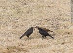 Photo #62171 - Cowbird chicks begging food for his surrogate father, in this case, a Rufous Hornero