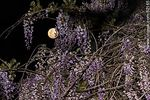 Foto #62165 - The full moon among the flowers of wisteria