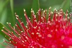 Photo #62277 - Calliandra tweediei