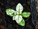 Foto #62250 - Hypoestes. Green leaves with white spots