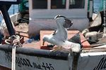 Foto #66009 - Seagull on a fishing boat