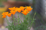 Photo #66831 - California poppy, golden poppy, California sunlight, cup of gold