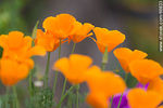 Photo #66833 - California poppy, golden poppy, California sunlight, cup of gold