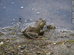 Photo #12550 - Bull frog male. Allamuchy Mountain.