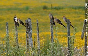 Pirinchos in a fence - Photos of birds - Fauna - MORE IMAGES. Image #6608