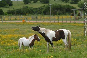 Horses - Photos of rural area of Maldonado - Department of Maldonado - URUGUAY. Image #6640