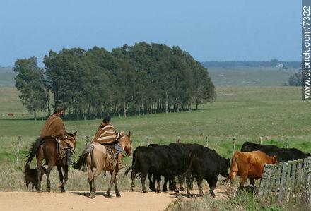 Herding cattle - Photos of the Uruguayan Countryside - URUGUAY. Image #7322