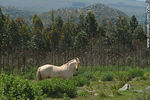 Photo #7267 - White horse in eucalyptus woodland