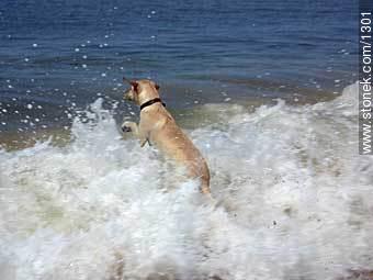 Labrador Retriever jumping into the sea - Photos of dogs - Fauna - MORE IMAGES. Image #1301