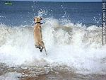 Photo #1305 - Labrador Retriever jumping into the sea