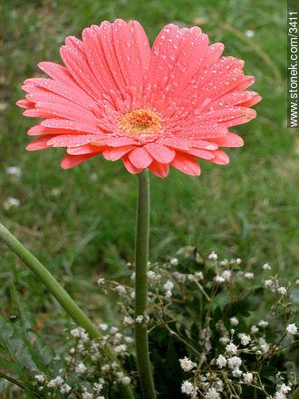 Photos of Gerberas or Yerberas - Flora - MORE IMAGES. Image #3411