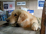 Un cachorro de Golden Retriever en un stand. - Foto #3669