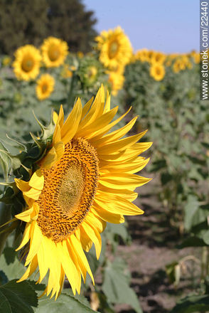 Sunflowers - Photos of flowers - Flora - MORE IMAGES. Image #22440