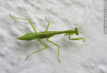 Mantis religiosa o tatadios - Fotos de artrópodos (insectos +) - Fauna - IMÁGENES VARIAS. Imagen #22460