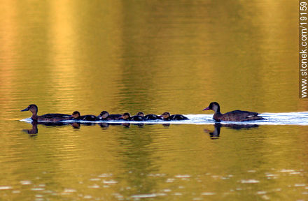 Duck family at OSE Lake - Photos of the city of Minas - Lavalleja - URUGUAY. Image #19159