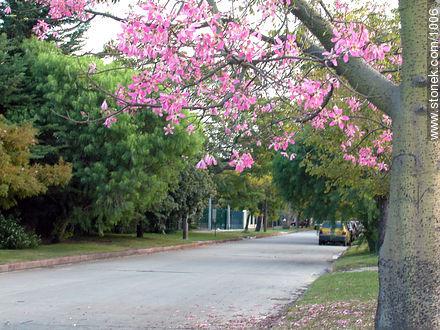 Chorisia - Photos of Carrasco quarter - Department and city of Montevideo - URUGUAY. Image #1006