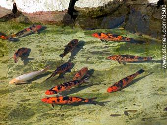 Fishes in a pond. - Photos of the Zoo of Villa Dolores - Department and city of Montevideo - URUGUAY. Image #3500