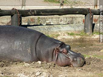 Hippopotamus. - Photos of the Zoo of Villa Dolores - Department and city of Montevideo - URUGUAY. Image #674