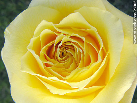 Yellow rose - Photos of roses - Flora - MORE IMAGES. Image #26305