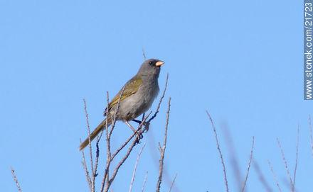 Embernagra platensis - Photos of birds - Fauna - MORE IMAGES. Image #21723
